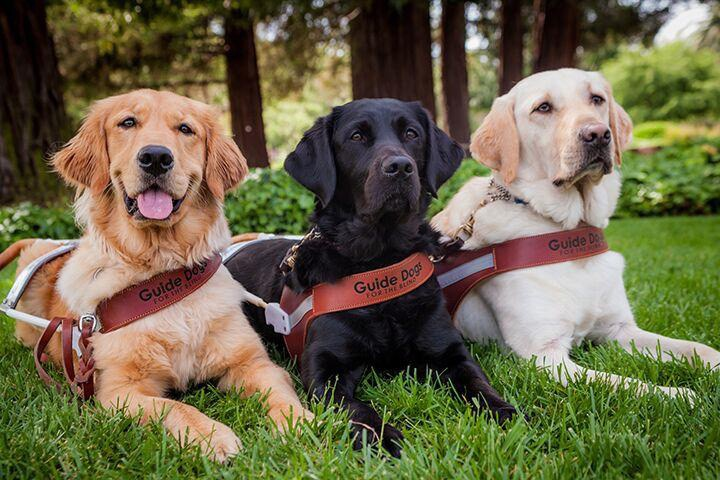 3 Guide Dogs Laying Down in a Field